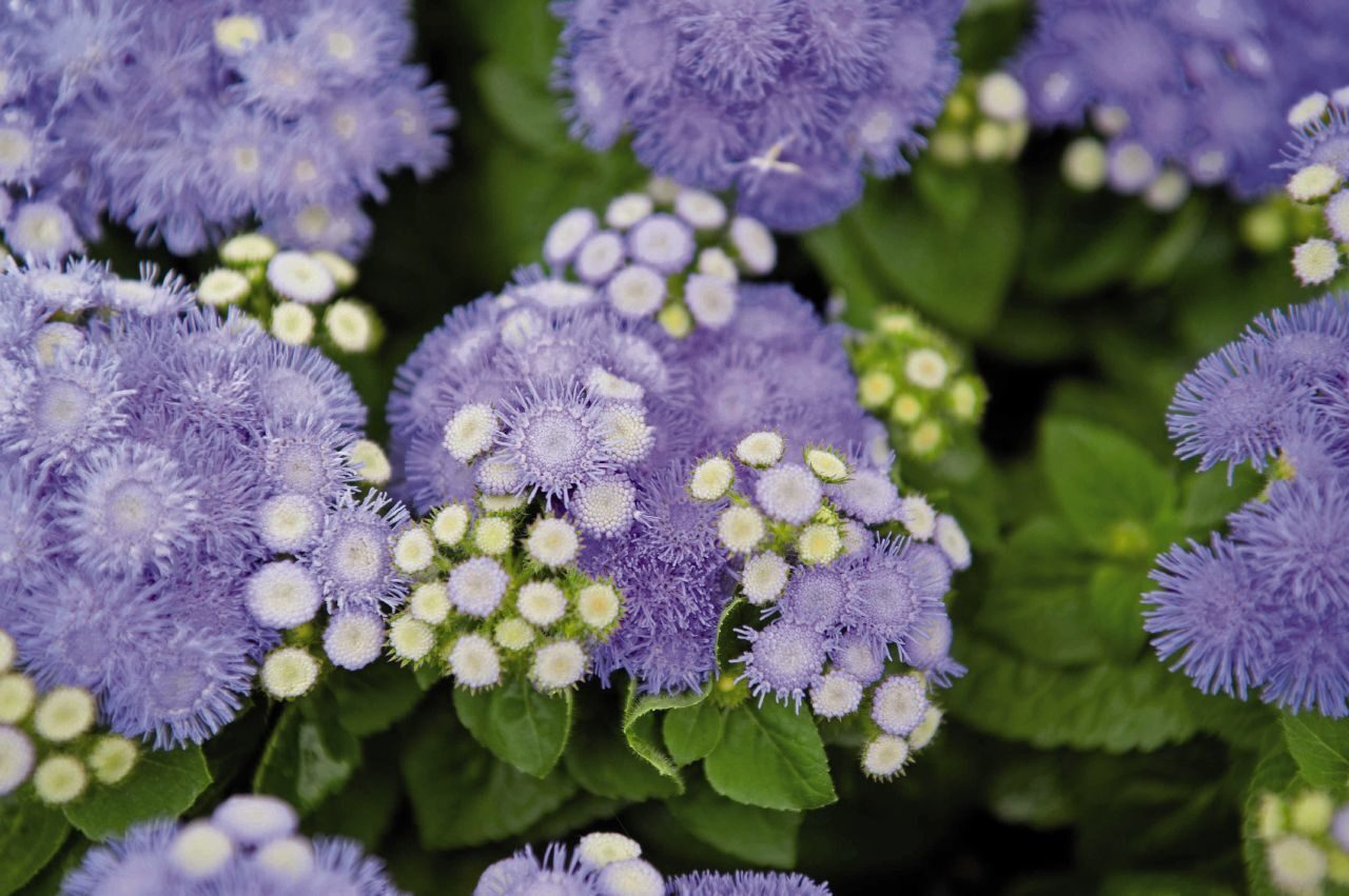 42 растения с синими цветками Дизайн участка (Огород. ru) 54
